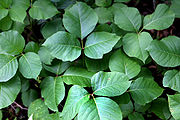 180px-toxicodendron_radicans3